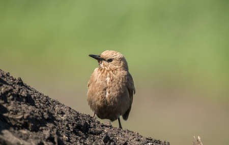 Starling, juvenile perched on some soil, close up Stock Photo