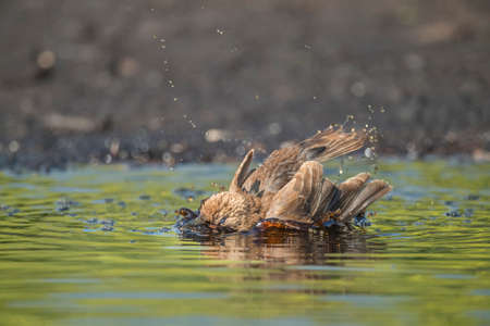 abi: Starling, juvenile washing in a pool of water, close up Stock Photo