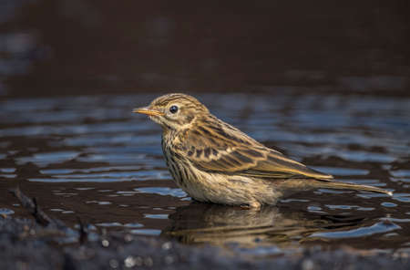 abi: Meadow pipit perched in a pool of water