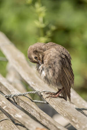 preening: Starling, juvenile perched on a fence preening itself, close up Stock Photo