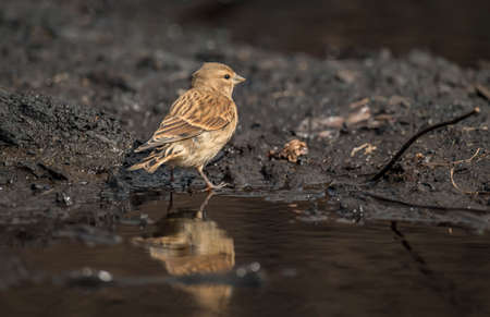 abi: A female Linnet, perched beside a pool of water, close up Stock Photo