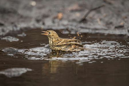 Meadow pipit washing in a pool of water