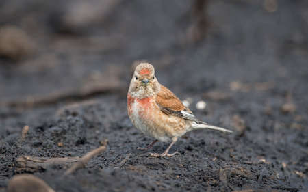 abi: A male Linnet, perched on a pile of earth, close up
