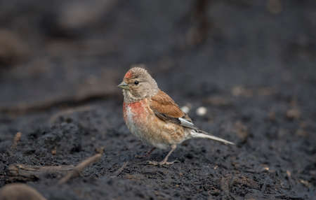 A male Linnet, perched on a pile of earth, close up