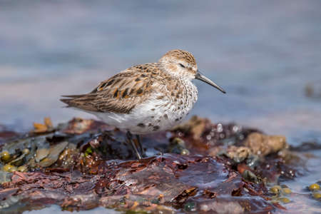 abi: Dunlin, perched on some seaweed at the shoreline, close up