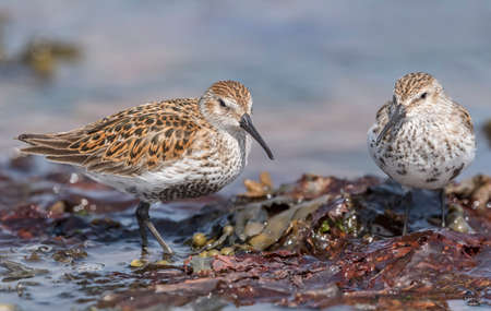 abi: Dunlins, perched on some seaweed at the shoreline, close up