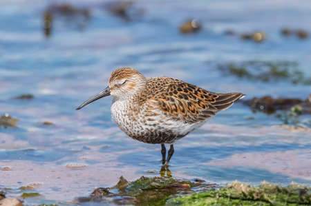 abi: Dunlin, standing in the sea, close up Stock Photo