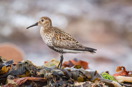Dunlin, perched on seaweed, close up