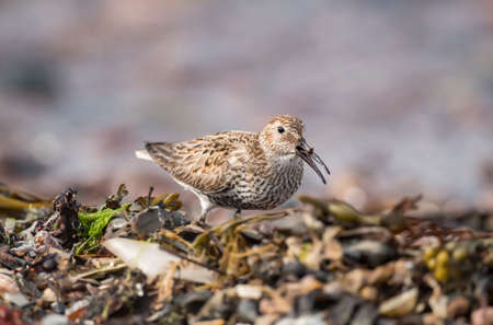 Dunlin, feeding on a seaweed covered beach Stock Photo