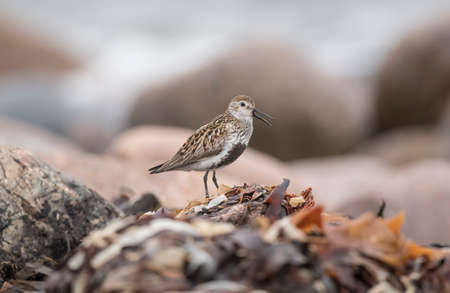 seabird: Dunlin, perched on seaweed, squawking