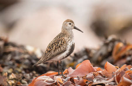 abi: Dunlin, perched on seaweed, close up