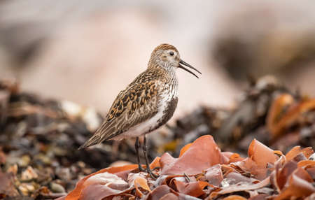 Dunlin, perched on seaweed, close up, squawking