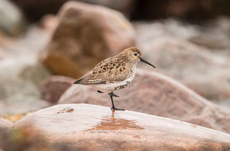 abi: Dunlin, perched on a rock, close up Stock Photo