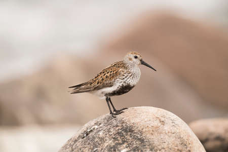Dunlin, perched on a rock, close up Stock Photo