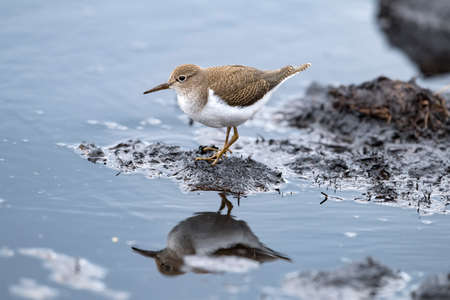 Common Sandpiper on a compost heap in Scotland in the summer