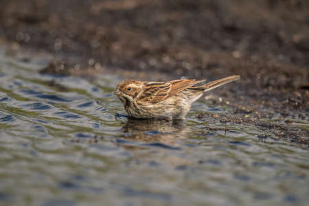 abi: Reed bunting standing in a puddle of water on a compost heap