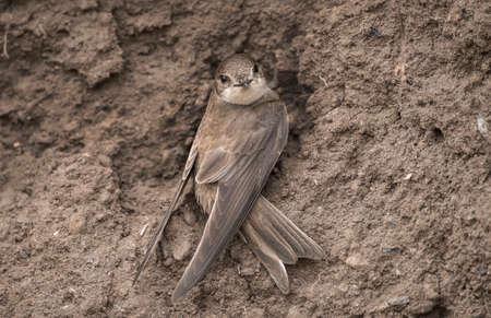 abi: Sand Martin near its nest in a sandbank