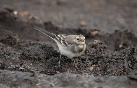 abi: Pied Wagtail juvenile on a compost heap, close up
