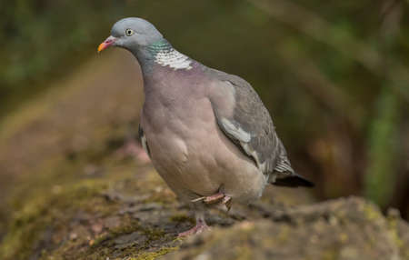 abi: Wood pigeon, perched on a tree trunk, close up