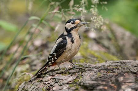 abi: Great spotted woodpecker, perching on a tree trunk Stock Photo