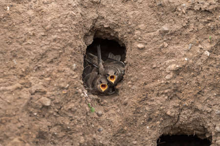 abi: Sand Martin juveniles in their nest in a sandbank, calling for food Stock Photo