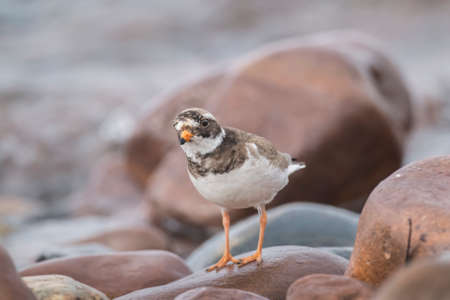 Ringed plover standing a rock on the beach, close up Stock Photo