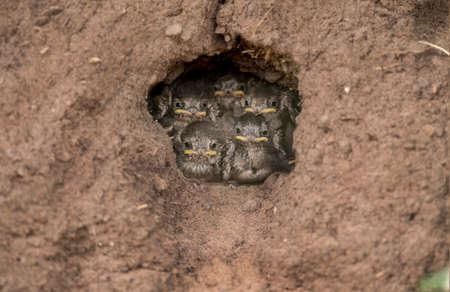 abi: Sand Martins in their nest in a sandbank Stock Photo