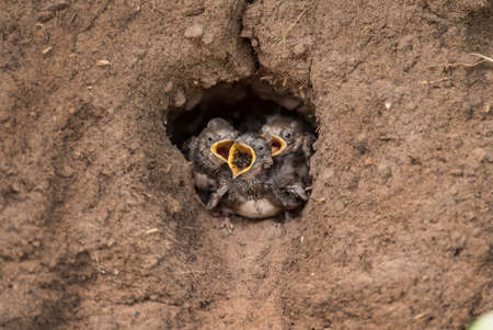 abi: Sand Martins in their nest in a sandbank, eating bugs