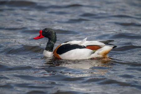 abi: Shelduck, male, swimming on a loch in Scotland