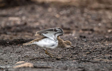 abi: Common Sandpiper displaying on a compost heap in Scotland in the Summer Stock Photo