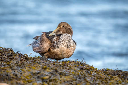 abi: Eider duck, female, on a seaweed covered rock in front of the sea, preening itself, close up Stock Photo