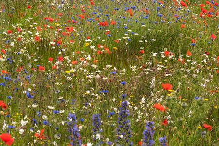 abi: A wildflower meadow in Scotland   Stock Photo