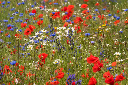 A wildflower meadow in Scotland   Stock Photo