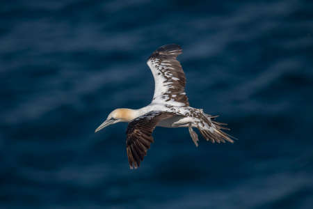 Gannet, juvenile, flying over the sea, close up Stock Photo