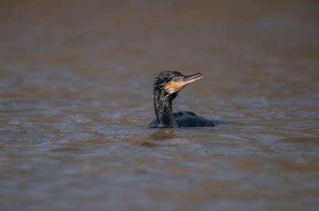 Cormorant swimming on a pond Stock Photo