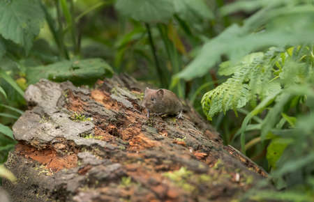 Vole on a log in a forest Stock Photo