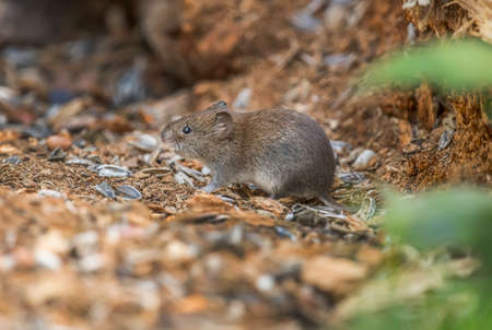 Vole on the forest floor, eating, close up Reklamní fotografie
