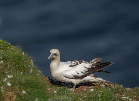 Gannet, juvenile, perched on the edge of a cliff, close up Stock Photo