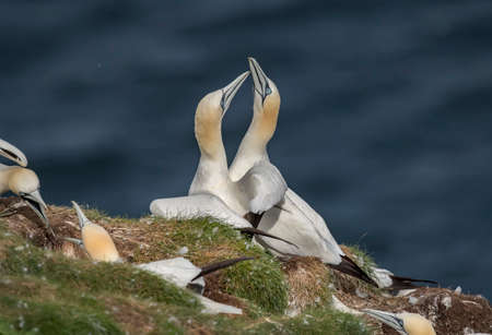 Gannets, on a cliff, close up, displaying