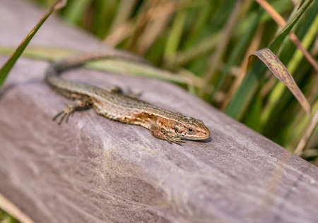 Common Lizard on a wall, close up