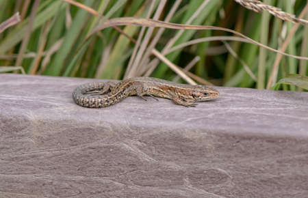 viviparous: Common Lizard on a wall, close up