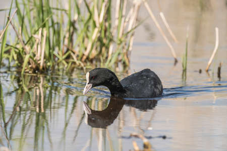 A Coot, reflected in a loch, close up