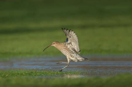 Curlew, flying from a pool of water, during the Winter 版權商用圖片