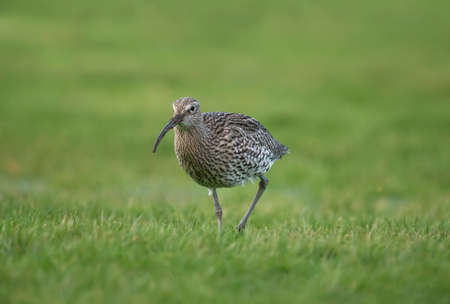 Curlew, on the grass, during the Winter