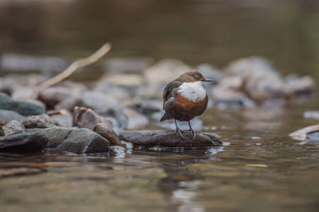 Dipper perched on a rock, by a stream