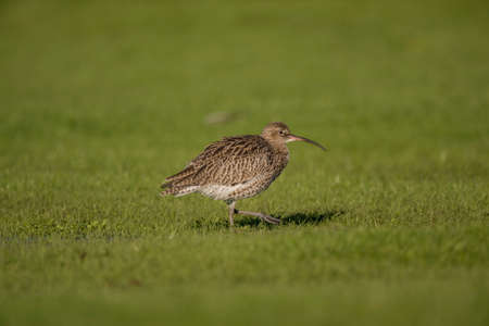 Curlew, on the grass, displaying, in the Winter Stock Photo