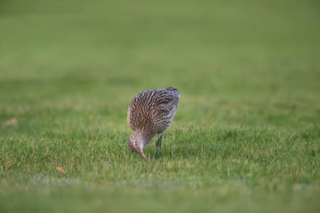 Curlew, on the grass, eating worms in the Winter