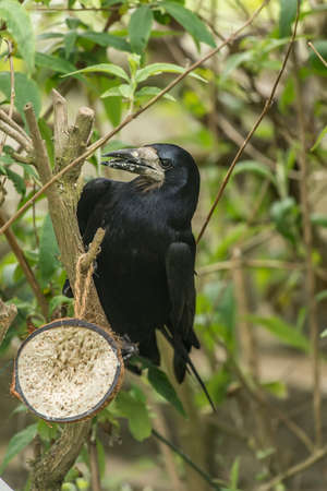 Rook perched on a branch, close up Stock Photo