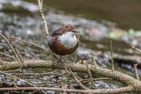 Dipper perched on a branch, above a stream
