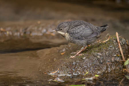 Dipper, juvenile, perched on a rock in a stream, close up Stock Photo